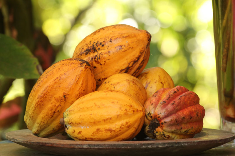 Up close image of cacao in Bocas del Toro Panama at Up in the Hill Eco Lodge