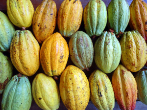Close up image of cacao from Panama Eco Lodge Up in the Hill in Bocas del Toro.