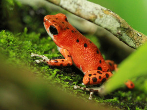 A close up of a red frog at up in the hill eco lodge in Panama