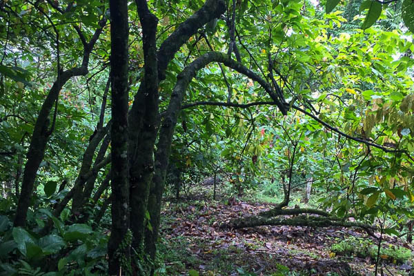 Up in the Hill Chocolate Farm in Bocas del Toro is a sustainable reforestation project.