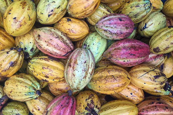 A close up of Cacao at up in the hill eco lodge in Panama